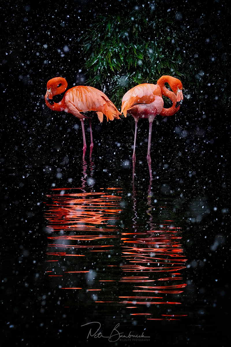Flamingos while snowing - ZOO Prague, Olympus E-M1X, M.Zuiko 40-150mm/2.8