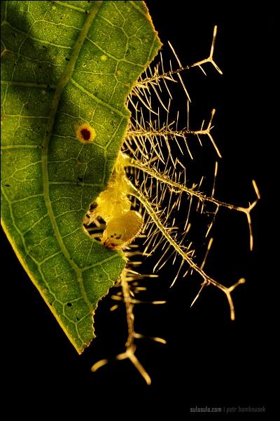 Caterpillar Baron Butterfly Borneo